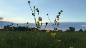 Żółci wildflowers przy zmierzchem zbiory wideo
