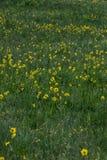 Żółci wildflowers w zielonej trawie obraz royalty free