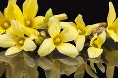 Żółci wiosna kwiaty forsycje odizolowywać na czarnym tle Fotografia Royalty Free