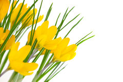 Żółci wiosna kwiaty odizolowywający na bielu, krokusie/ Obrazy Royalty Free
