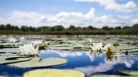 Żółci wodnej lelui kwiaty fotografia royalty free