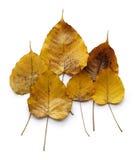 Żółci Złoci Pipal liście Zdjęcia Royalty Free