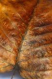 Żółci Złoci Pipal liście Obraz Stock
