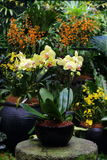 Żółta ćma orchidea Zdjęcia Stock
