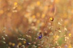Żółta łąka Zdjęcie Stock