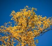 Żółta świetność Zdjęcie Royalty Free