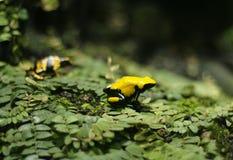 Żółta żaba Obrazy Stock