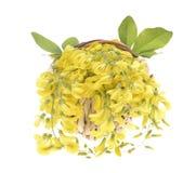 Żółta akacja obraz stock