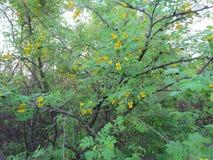 Żółta akacja w okwitnięciu zdjęcia royalty free