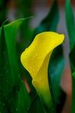 Żółta aron leluja - Zantedeschia elliottiana Obraz Stock