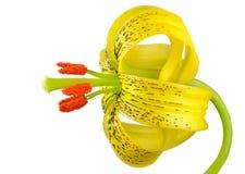 Żółta Asiatic leluja z Czarnymi punktami Odizolowywającymi na bielu Zdjęcie Royalty Free