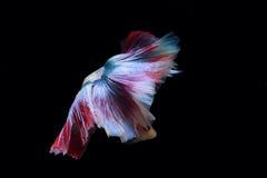 Żółta bój ryba na czarnym tle Obrazy Royalty Free