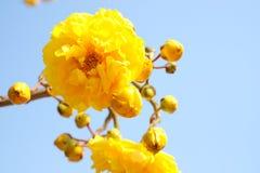 Żółta bawełna kwitnie na niebieskiego nieba tle Fotografia Royalty Free