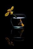 Żółta Betta ryba w szklanych słojach obraz stock