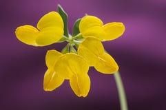 Żółta birdsfoot koniczyna przeciw różowemu tłu Fotografia Royalty Free