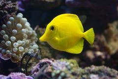 Żółta blaszecznicy ryba Obrazy Stock