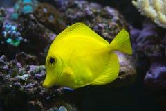 Żółta blaszecznicy ryba Zdjęcia Royalty Free