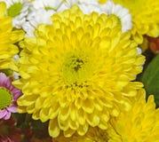 Żółta chryzantema makro-, bukiet kwitnie, kwiecisty przygotowania Obraz Royalty Free