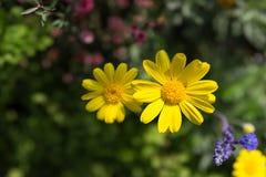 Żółta chryzantema w ogródzie Obrazy Royalty Free