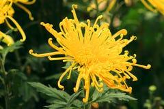Żółta chryzantema w pełnym kwiacie Obraz Royalty Free