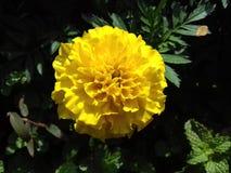 Żółta chryzantema z zielonymi liśćmi Zdjęcie Stock