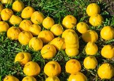 Żółta cytryny strzała Zdjęcia Stock