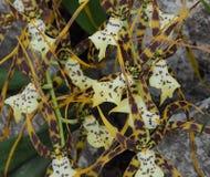 Żółta Czarny I Biały Oncidium orchidea Zdjęcie Stock