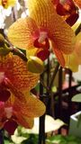Żółta czerwona orchidea Zdjęcia Royalty Free