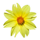 Żółta dalia Obraz Stock