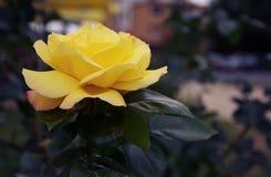 Żółta Dzika róża kwiatu wiosny roślina w ogródzie Obrazy Stock