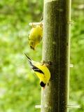 Żółta Finch para przy dozownika zbliżeniem Zdjęcie Stock