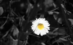Żółta Flower power stokrotka Zdjęcia Stock