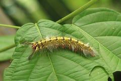 Żółta gąsienica Zdjęcia Stock