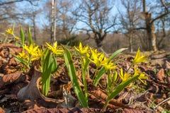 Żółta gwiazda betlejemska przy wiosną zdjęcia royalty free