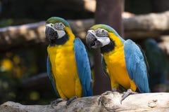 Żółta i Błękitny Ara Zdjęcia Stock