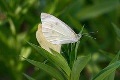 Żółta i biała motylia kotelnia na zieleni Fotografia Stock