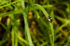 Żółta i czarna ściga na ostrzu trawa Obrazy Stock