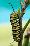 Żółta i czarna gąsienica na turkusowym tle Zdjęcie Royalty Free