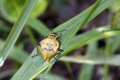 Żółta i czarna pluskwa na zielonych liściach Zdjęcie Royalty Free