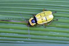 Żółta i czarna pluskwa na zielonych liściach Fotografia Royalty Free