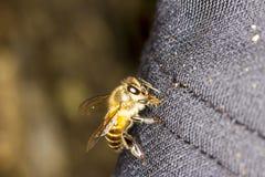 Żółta i czarna pszczoła Obraz Stock