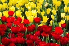 Żółta i czerwona tulipanów kwiatów tekstura Zdjęcie Stock