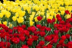 Żółta i czerwona tulipanów kwiatów tekstura Fotografia Stock