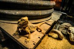 Żółta jaszczurka obrazy stock