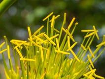 Żółta Karaibska agawa Kwitnie kwitnienie Obraz Royalty Free
