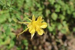 Żółta kolombina Zdjęcia Stock