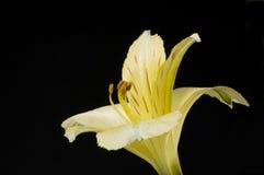 Żółta leluja Zdjęcie Stock