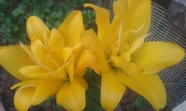 Żółta leluja obrazy stock