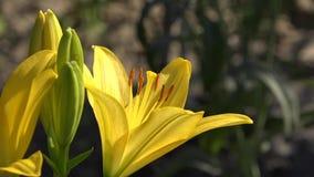 Żółta leluja w pełnym soku piękny naturalny zbiory