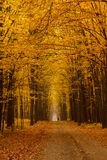 Żółta lipowa aleja chmurzący jesień dzień Zdjęcia Royalty Free